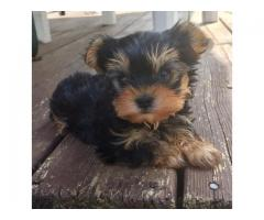 Adorable female teacup yorkie