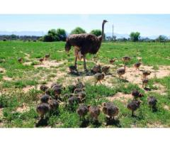Emu Chicks and Birds For Sale